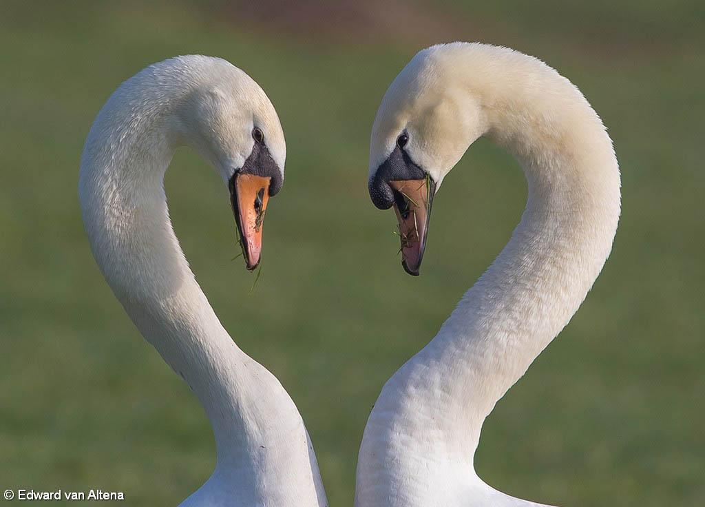 Liefde tussen twee zwanen