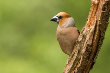 Coccothraustes coccothraustes; Appelvink; Hawfinch