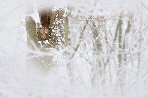 Door de bosuil klein in beeld te nemen, wordt de wintersfeer versterkt. - Fotograaf: Thijs Glastra