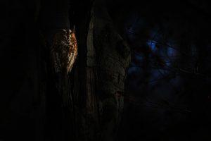 De bosuil is een vogel die vooral 's nachts actief is. - Fotograaf: Thijs Glastra