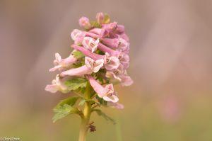 Macro opname van bloemen van vingerhelmbloem. - Fotograaf: Ron Poot