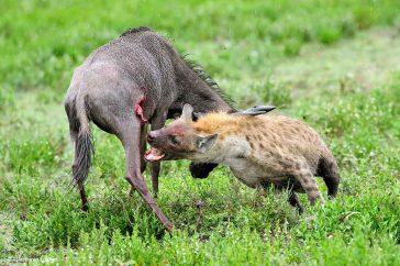 Hyena-gnoe-jaarling-Copyright-Martin-van-Lokven