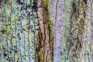 De verweerde schors van oude bomen is verrassend rijk aan structuren en kleuren.  - Fotograaf: Ron Poot