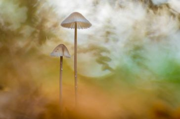 Twee Mycena's; Two Mycena mushrooms