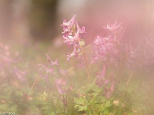 Door andere bloemen heen fotograferen geeft een zachte sfeer. - Fotograaf: Ron Poot