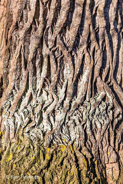 Europese zwarte populier; Black poplar; Populus nigra