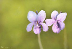 Sommige planten ontwilkkelen meerdere bloempjes tegelijk. - Fotograaf: Simone Opdam