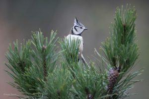 De natuurlijke omgeving van een kuifmees is het dennenbos. - Fotograaf: Arjan Troost