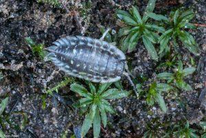 Rimpelmos groeit gewoon in de tuin en er schuifelt zo nu en dan een pissebed doorheen.  - Fotograaf: Ron Poot