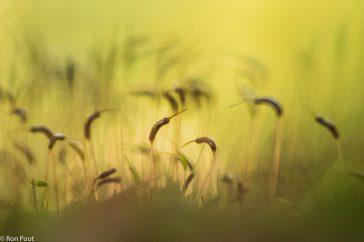 Atrichum undulatum; Groot rimpelmos; Common Smoothcap Moss