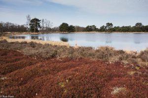 In het vroege voorjaar zorgt kraaihei voor een donkerrode kleur in de hei. - Fotograaf: Ron Poot