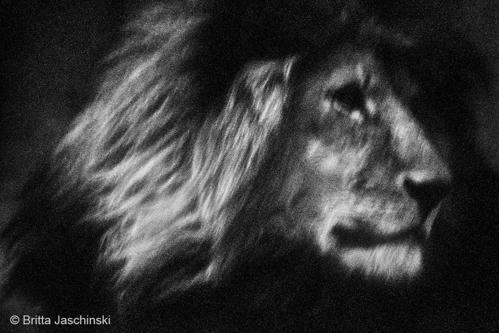oude leeuw