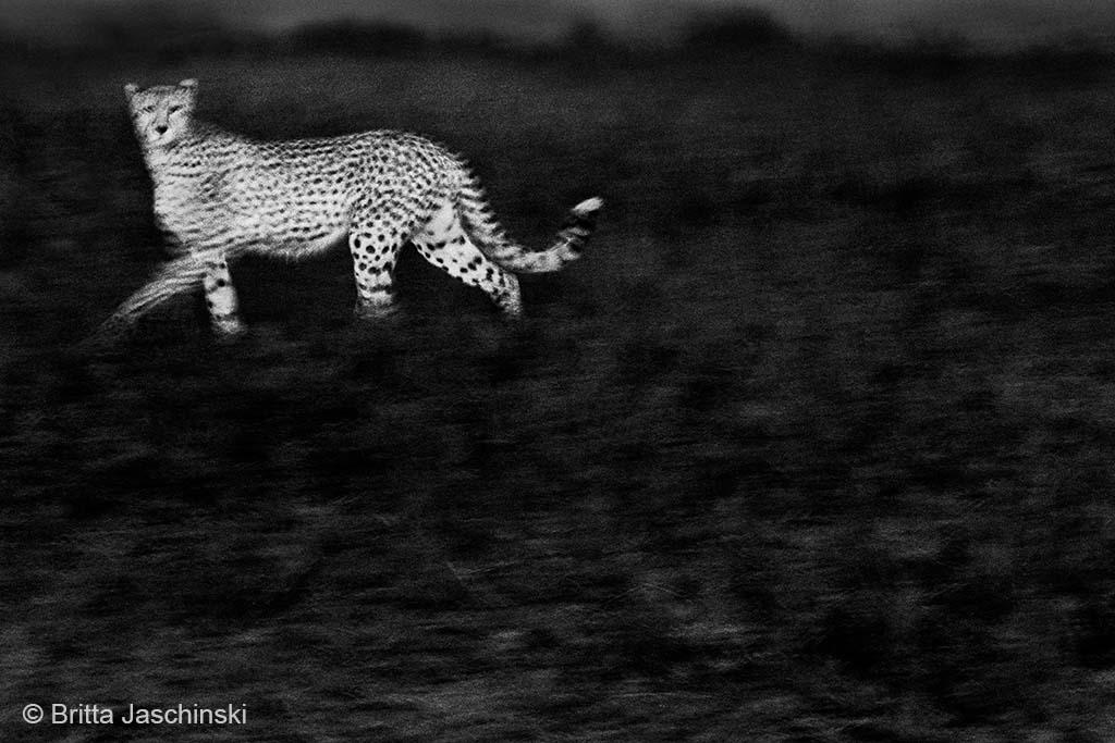 cheeta uit de as