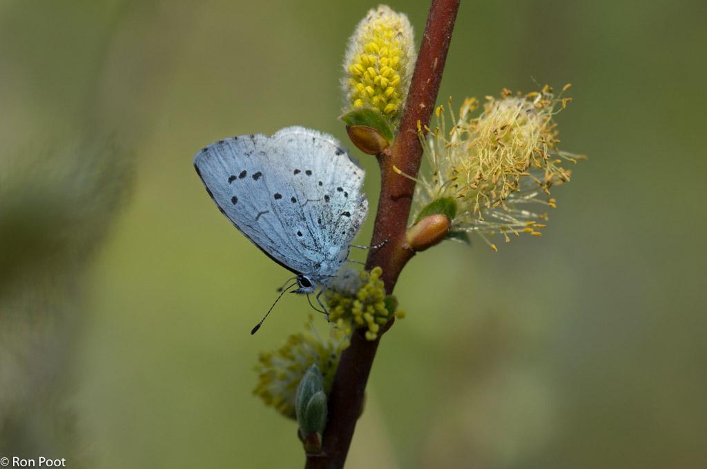 Hoe fotografeer je het boomblauwtje?