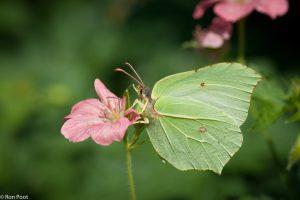 In de zomer kun je de jonge uitgevlogen citroenvlinders in de tuin aantreffen.  - Fotograaf: Ron Poot