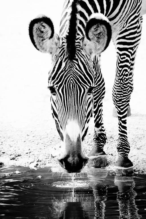 Zebra in focus