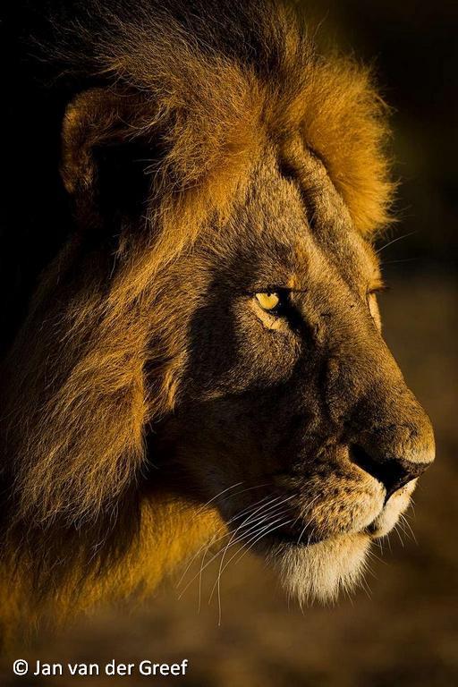 Machtige leeuw - Koning der dieren