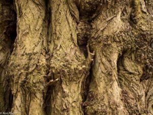 Een zwaar leven - de schors van een zeer oude kaukasische vleugelnoot.  - Fotograaf: Ron Poot