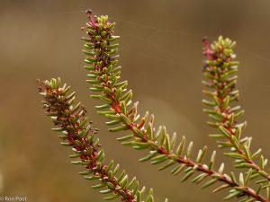 Vanaf maart kun je kraaihei al bloeiend tegenkomen. - Fotograaf: Ron Poot