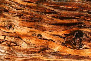 De vlammende schors van een levensboom.  - Fotograaf: Ron Poot