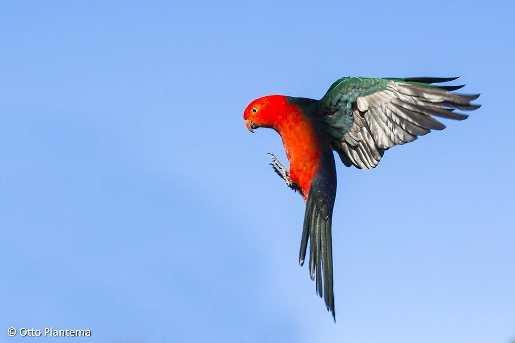 Vliegende Man Australische Koningsparkiet ;Flying Male Australian King-Parrot