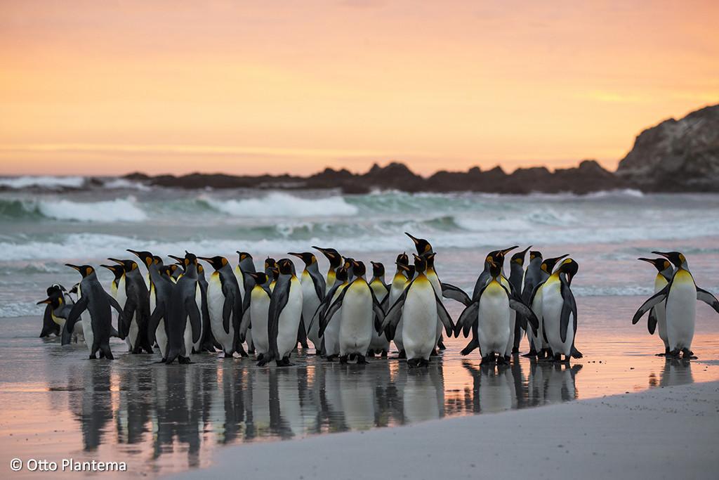 Koningspinguïn ; King Penguin ; Aptenodytes patagonicus