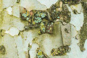 Schors van een plataan met korstmossen; Close-up of a platane with lichens. - Fotograaf: Ron Poot