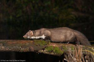 Steenmarter 's nachts lopend over een boomstam. - Fotograaf: Paul van Hoof en Marcel Slagers