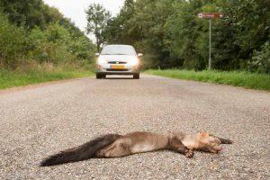 Zo kan het ook aflopen, een steenmarter als verkeersslachtoffer. - Fotograaf: Paul van Hoof