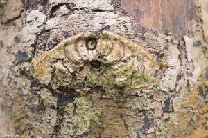 Indringende blik van een tak-oog op een abeel. - Fotograaf: Ron Poot