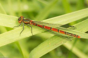 Een van de vroegste libellensoorten is de knalrode vuurjuffer. - Fotograaf: Ron Poot