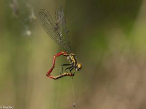 Menig vuurjuffer valt ten prooi aan een spin.  - Fotograaf: Ron Poot