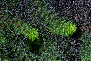 Kraaihei met spinrag kan een decoratief beeld geven. - Fotograaf: Ron Poot