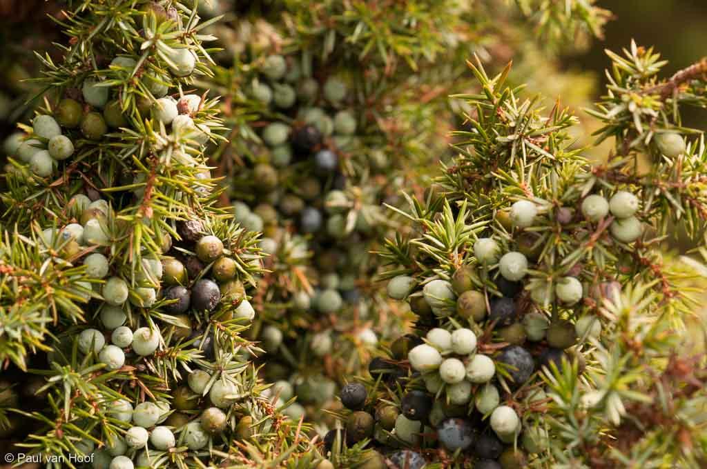 Jeneverbes; Common Juniper; Juniperus communis
