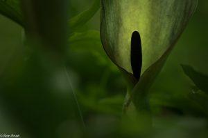 De geheimzinnige bloeiwijze heeft een geraffineerde methodiek om insecten te lokken. - Fotograaf: Ron Poot
