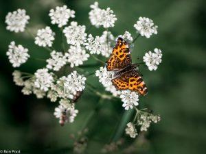 Landkaartje op bloeiend fluitenkruid - Fotograaf: Ron Poot