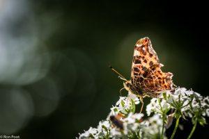 De onderzijde van de vleugel heeft wel iets van een landkaart. - Fotograaf: Ron Poot