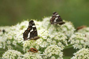 Landkaartjes vliegen in twee generaties, voorjaar en volle zomer. Dit is het zomerkleed. - Fotograaf: Ron Poot