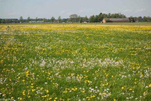 Kenmerkend agrarisch landschap, het grasland vol paardenbloemen en pinksterbloemen.  - Fotograaf: Ron Poot