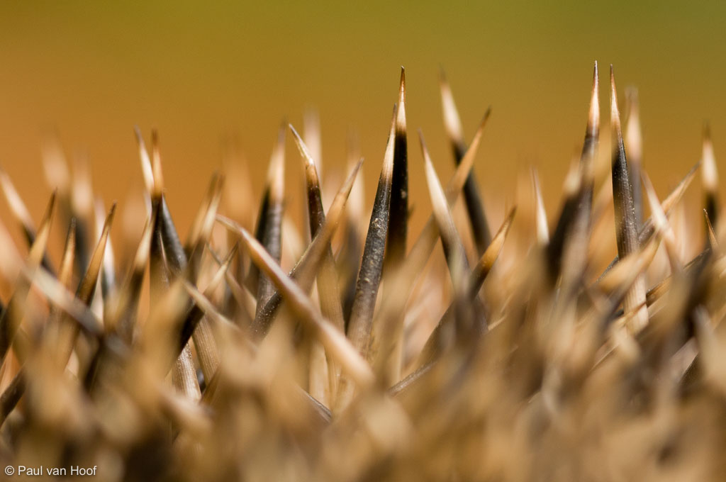 Close-up van stekels van een egel