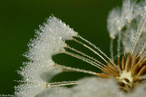 Dauwdruppels geven net iets extra aan het vruchtpluis.  - Fotograaf: Ron Poot