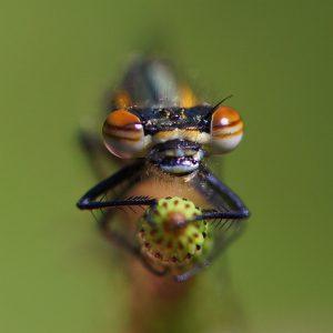 Van voren gezien, terwijl hij hangt aan een plant in de vijver.  - Fotograaf: Nel Ringelberg