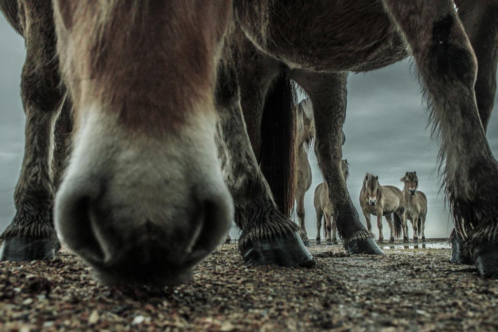Paarden op Goeree-Overflakkee
