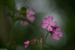 Maak gebruik van het licht in de achtergrond om de bloem te accentueren. - Fotograaf: Ron Poot