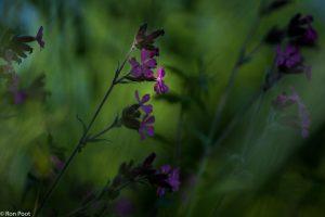 Het is een plant van de halfschaduw, vaak langs bosranden.  - Fotograaf: Ron Poot