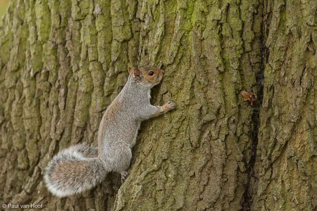 Grijze eekhoorn Sciurus carolinensis