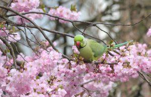 De voorjaarsbloesem is een mooie setting om de parkiet te fotograferen. - Fotograaf: Leo Snellink