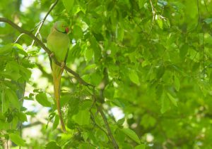 Je kunt halsbandparkieten vaak eerder horen dan zien, als ze in een boom zitten. - Fotograaf: Leo Snellink