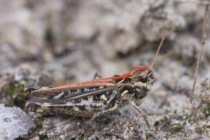 Knopspriet vrouwtje met een rode rug. - Fotograaf: Paul van Hoof