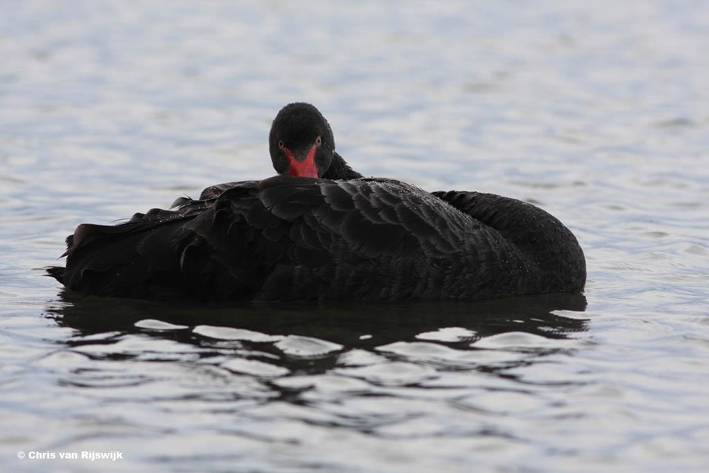 Zwarte zwaan Cygnus atratus